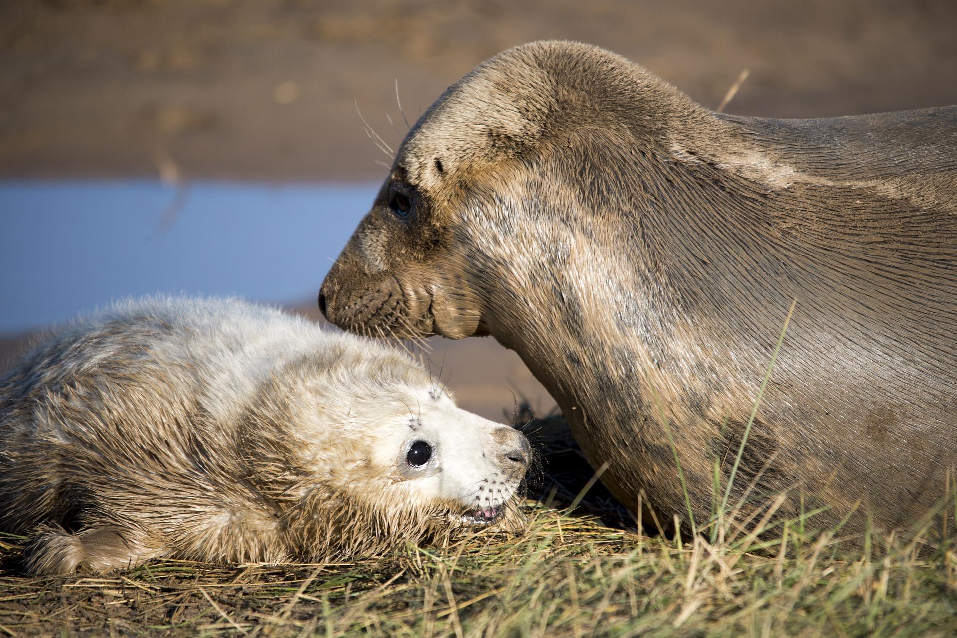 Seal and seal pup