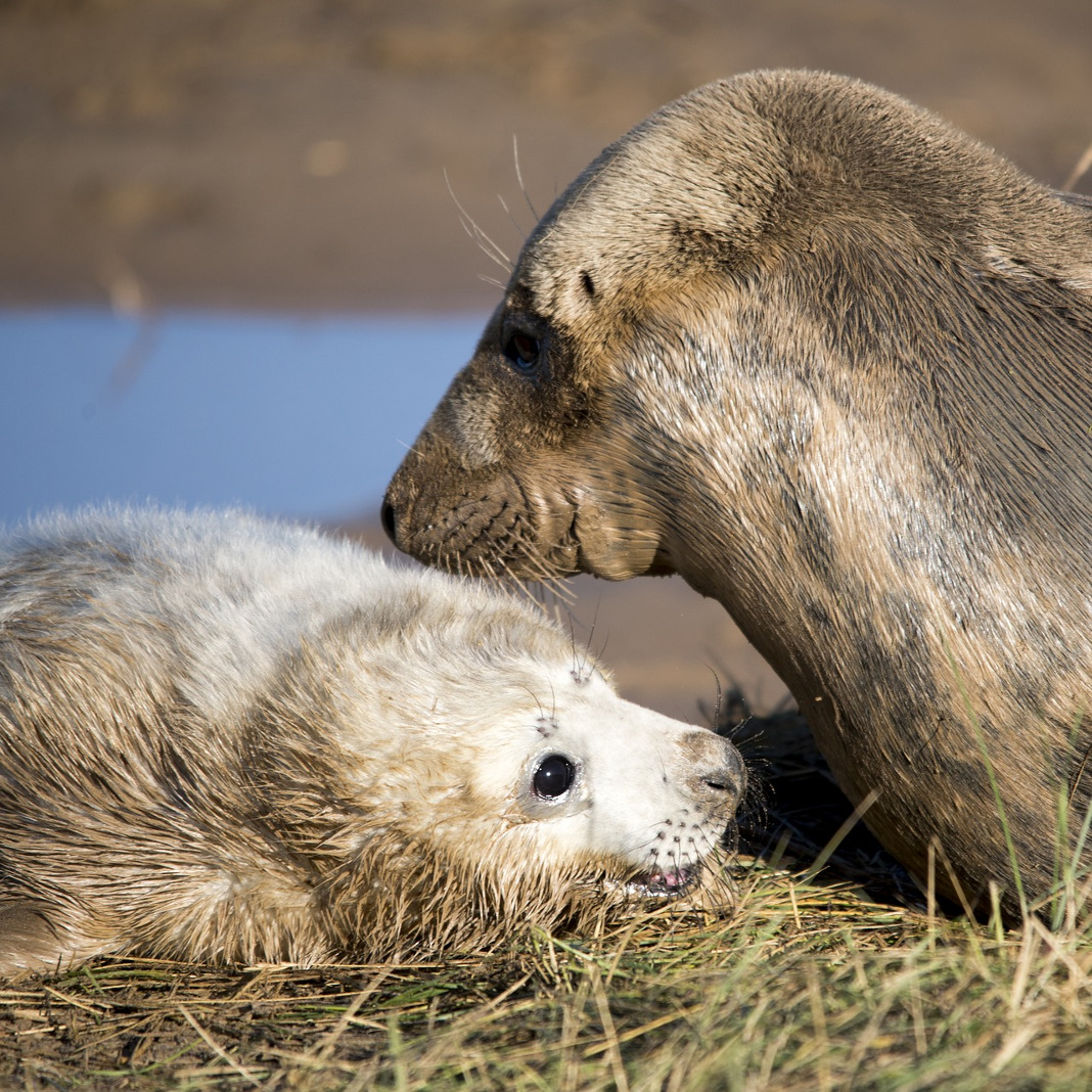 Seal and seal pup