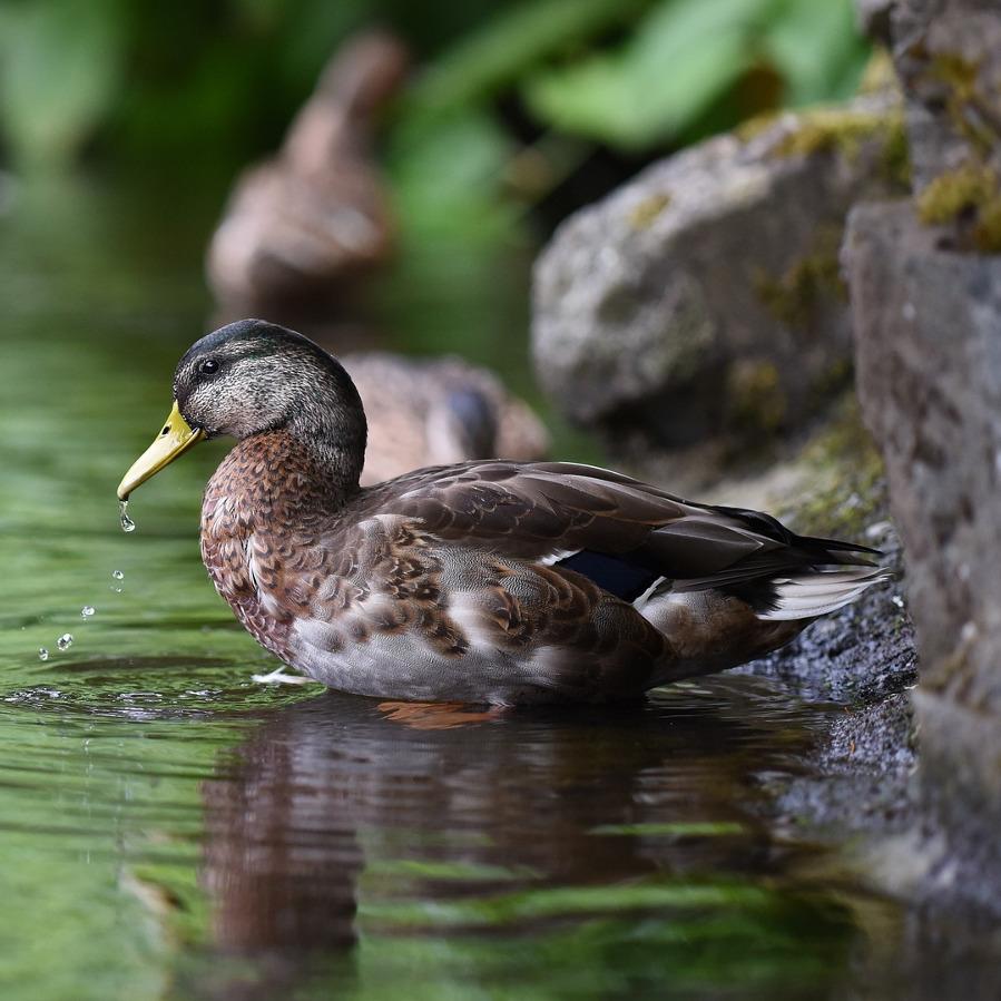 Duck in a stream