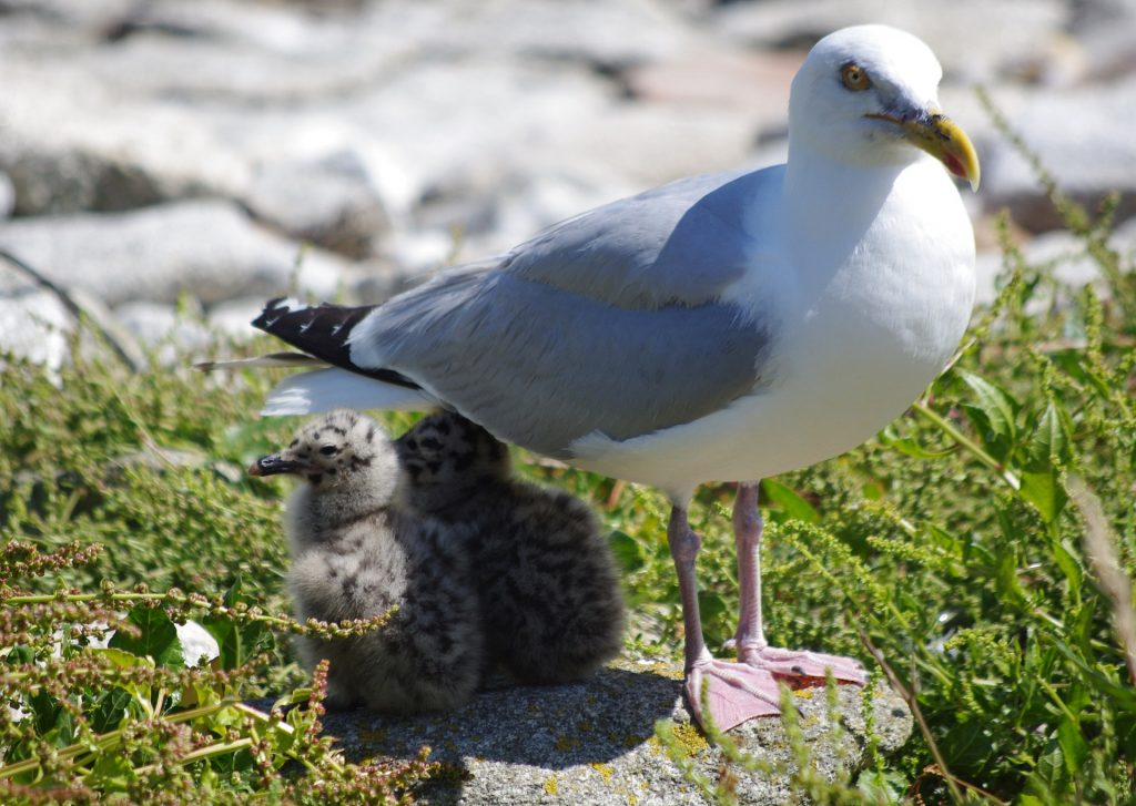 Seabird eggs found to be contaminated with potentially harmful phthalate chemicals