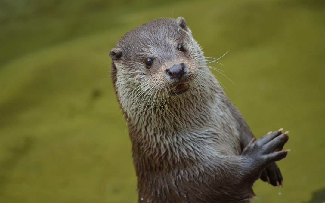 New research shows persistent pollutants present in UK otters above toxic thresholds decades after ban
